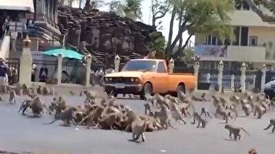 عشرات القرود تغزو شوارع تايلاند الخالية بسبب حظر تجول كورونا