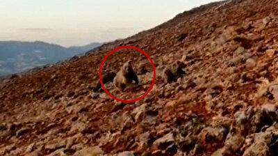 كلاب الكانغال تطرد مجموعة من الدببة كانت تهاجم قطيعُا من الأغنام