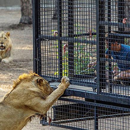 Antalyada telli kamyonetle aslan safarisine tepki