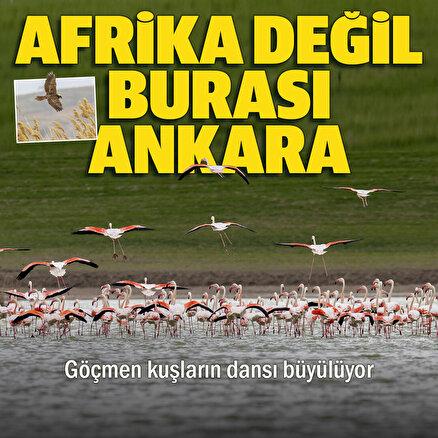 Ankara'nın renkli misafirleri Flamingolar: Göçmen kuşların dansı hayran bıraktı