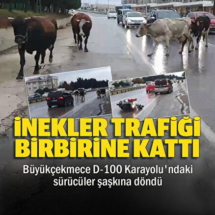 Büyükçekmecede başıboş inekler trafiği birbirine katttı