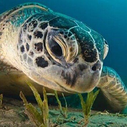Vericiyle izlenen kaplumbağa 48 günde Adanadan Mısıra gitti