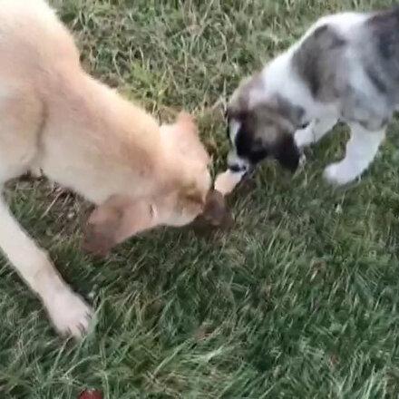 Köpeklerin dondurma keyfi