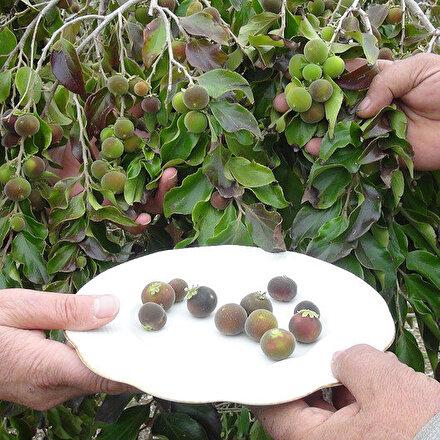 Antalyada emekli çift ketembilla meyvesi üretti: Türkiyede ilk kez üretildiği iddia edildi