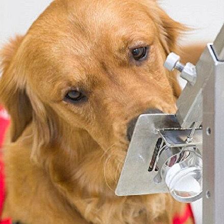Koronavirüsü tespit eden köpekler altı haftada eğitiliyor: Yüzde 94 başarı sağlıyor
