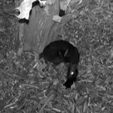 Varşovada nesli tükenmekte olan fare geyiğinin doğum anı ilk kez görüntülendi