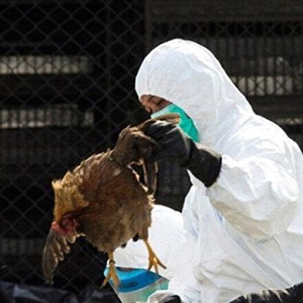 Güney Kore'de kuş gribi tehlikesi: 390 binden fazla tavuk ve ördek itlaf edildi