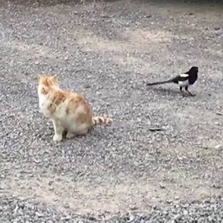 Sivasta karganın kediyle oyunu kamerada