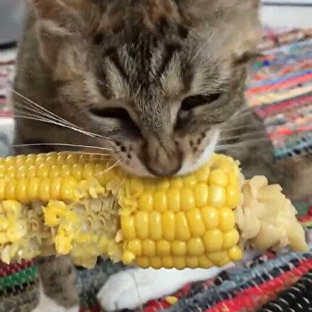 Mısır yiyen kedinin gülümseten anları