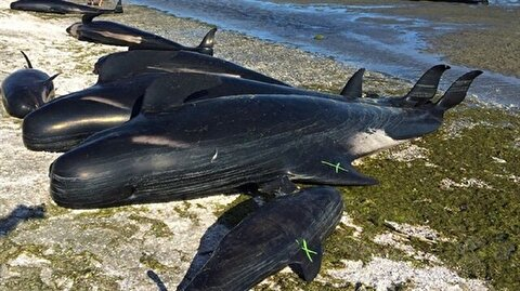 400 stranded pilot whales die in New Zealand