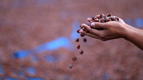 Turkey's hazelnut exports top 159,000 tons in Sept-Feb