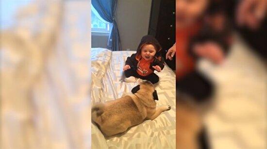 Pug'larla oynarken kahkahalara boğulan şirin bebek