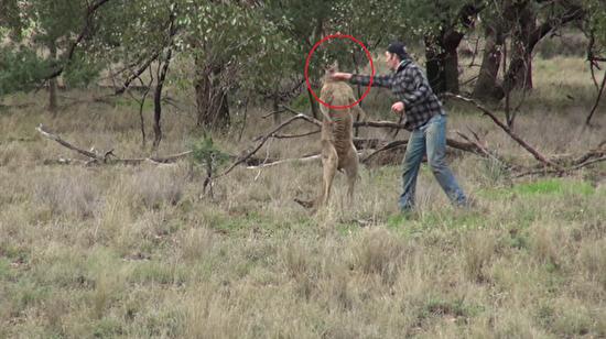 Köpeğini korumak için kanguruya yumruk atan adam!