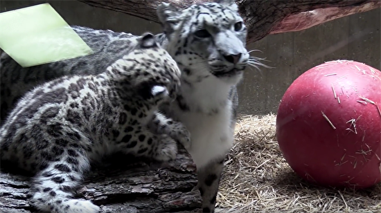 Yavru kar leoparı annesiyle oynuyor