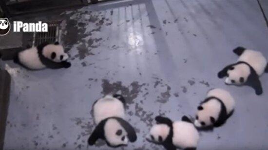 Yine bir hapşırma vakası yine pandalar!