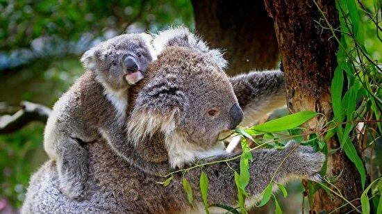 Koala'nın Bir Günü Nasıl Geçiyor