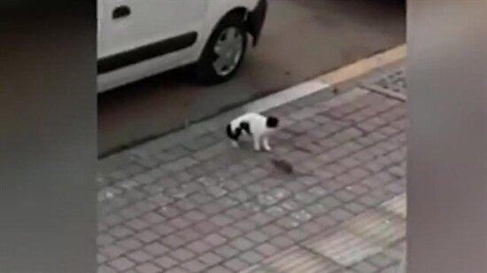 Antalya faresi kediye dalıyor