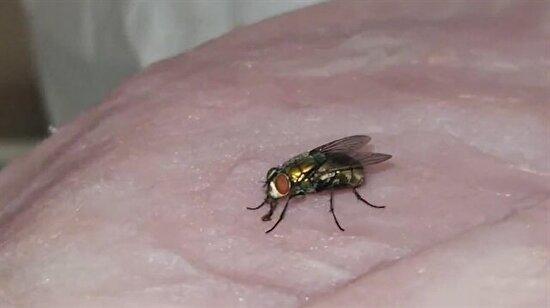 Dana jambon yiyen at sineği yakın çekimde