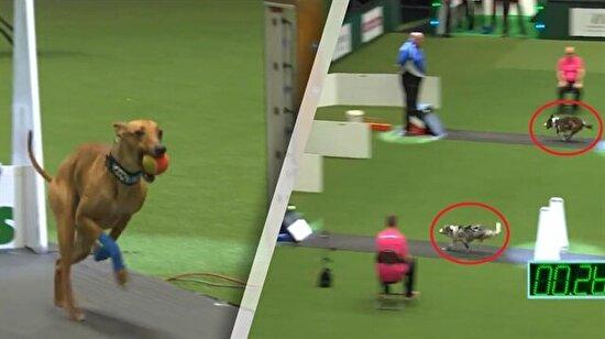 FlyBall! Bu köpek yarışını soluksuz izleyeceksiniz..