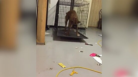 Boxer cinsi köpeğin kafesten kurtulma görüntüleri
