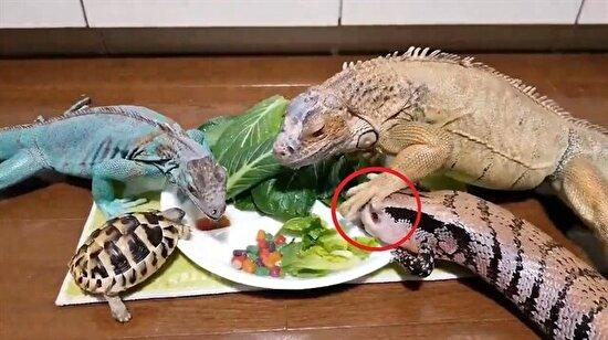 Yemek yerken yüzüne basılan sürüngenin tribi kamerada