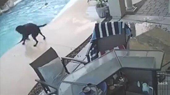 Boğulan kardeşini kurtarmak için havuza atlayan kahraman köpek