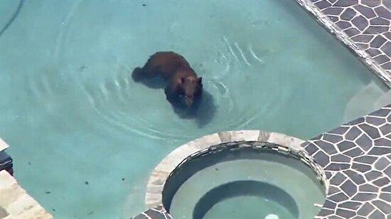 Havuzunuzda koca bir ayıyla karşılaşsanız ne yapardınız?