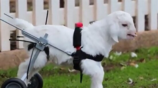 Engelli kuzunun yürüme sevinci