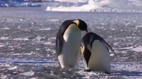 Penguenlerin sakarlıkları