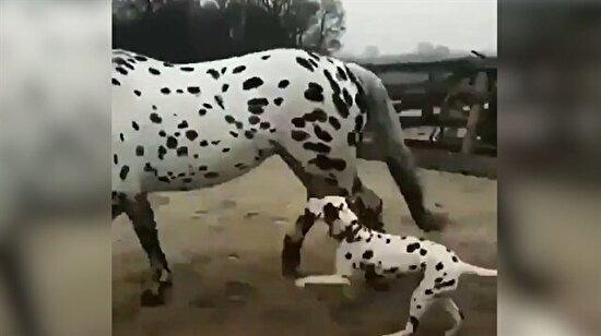Kendini at zanneden dalmaçyalı köpek