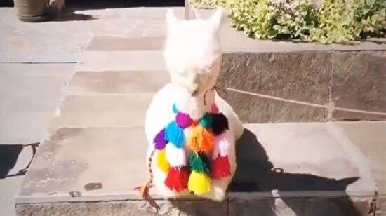 Bebek alpaka gezmeye çıkmış
