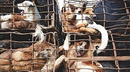Vietnam'da halka 'köpek eti yemeyin' çağrısı: Kuduz hastalığı yayabilir