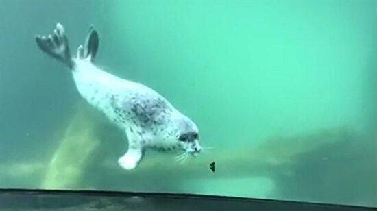 Fok balığının kelebekle buluşması