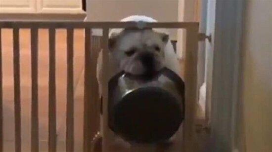 Akıllı köpeğin hali bir başka oluyor