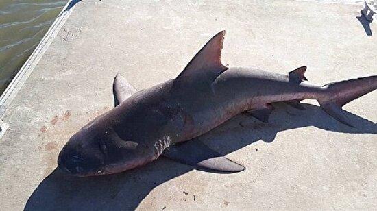 Avustralya'da tekneye atlayan köpek balığı şoke etti