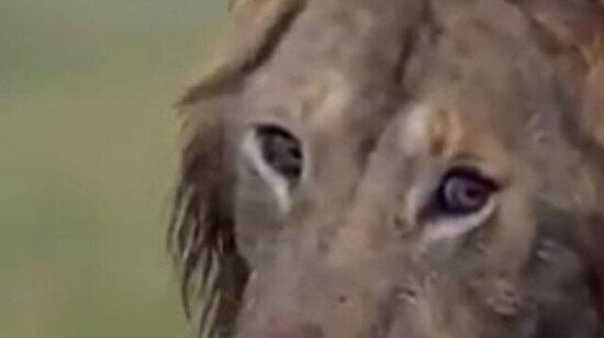 Videonun sonunda Tatu ve diğer aslana sarılıp ağlamak istedim