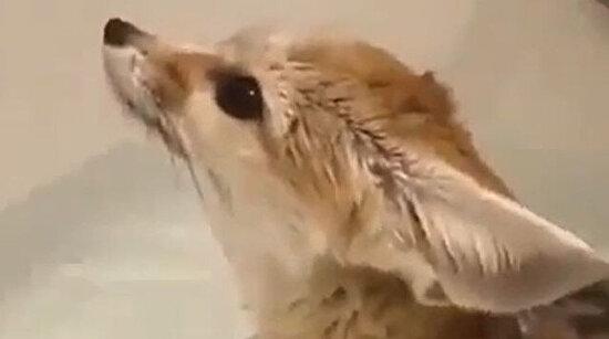 Banyoda bir tilki