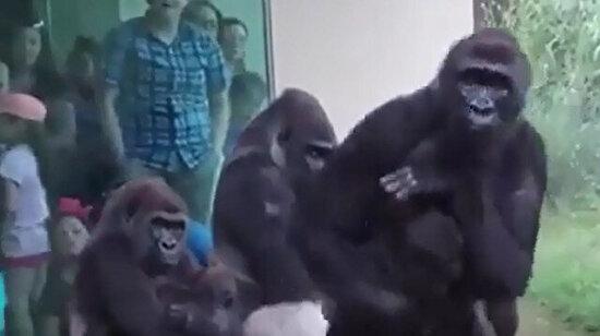 Bebeklerini yağmurdan korumaya çalışan anne goriller