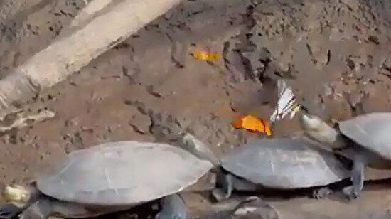 Kelebekler tuz ihtiyaçlarını karşılamak için kaplumbağaların göz yaşını içer