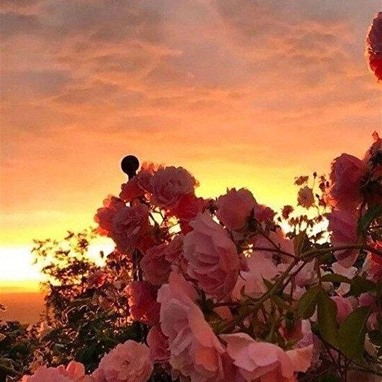 Yediveren güller