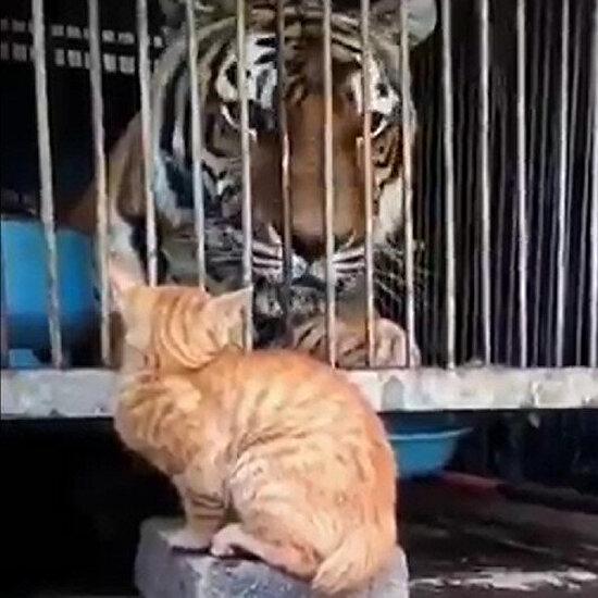 Ani hareketiyle kaplanı korkutan kedi