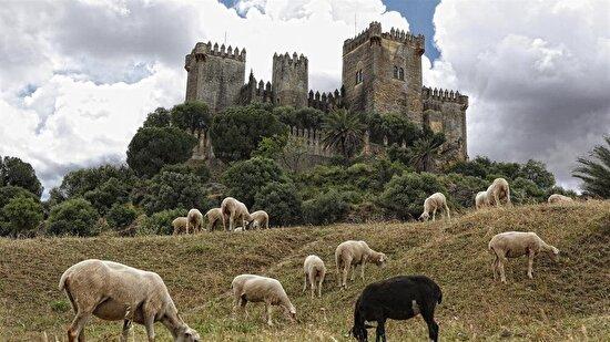 Kralın koyunları