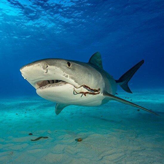 Kuzey Bahamaların sığ su kumları üzerinde yüzen kaplan köpek balığı