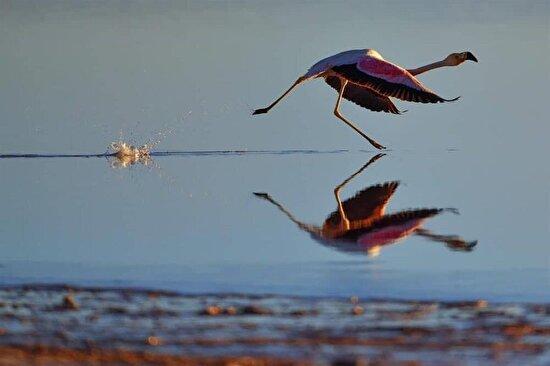 Suyun üstünde koşan flamingo