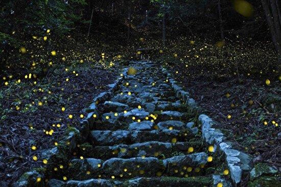 Japonya'nın Tamba bölgesinde, fotoğrafçı Yutaka Takafuji'nin ateş böceklerini çekmesi ile ortaya çıkan görüntü