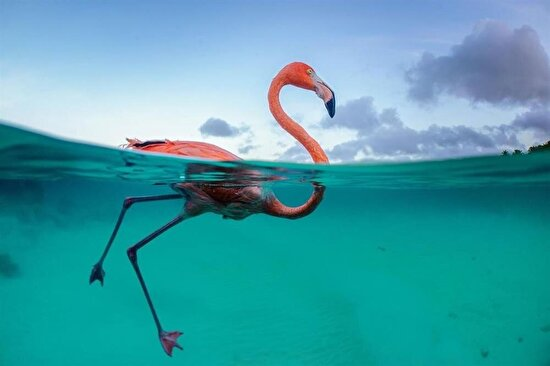 Flamingo Bob, Karayip Denizi'nde yüzmeyi sever