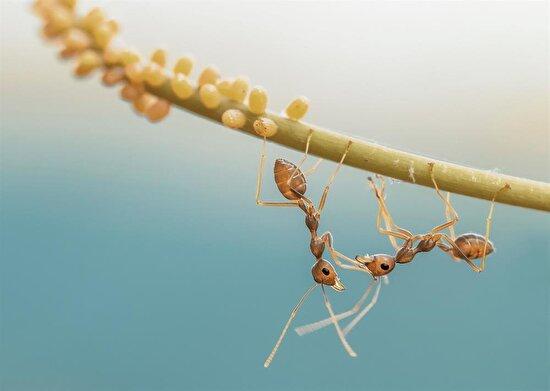 Karıncalar bir yaprak üzerinde birbirleriyle iletişim kurarlarken...