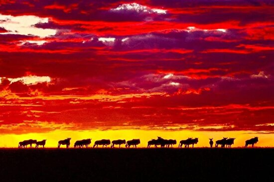 Kenya'nın Masai Mara çayırlıkları