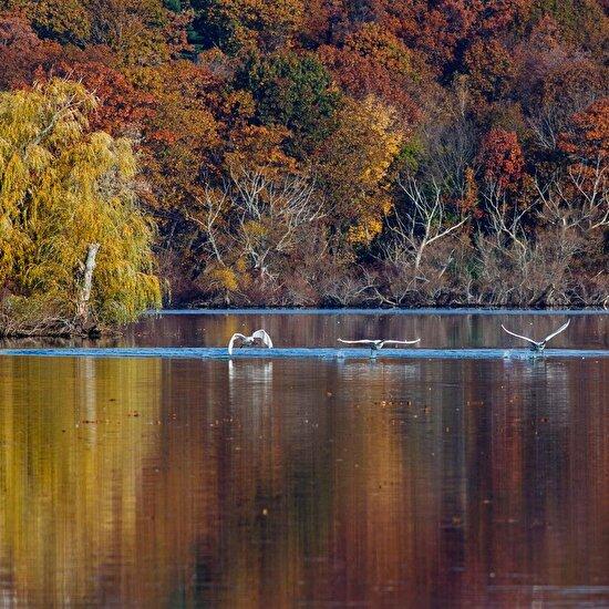 Yapraklar düşmeye başladığında New England'daki kuğular göllerden çıkmaya başlar