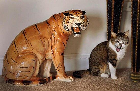 Kediye bak aynı büyük amcasına çekmiş